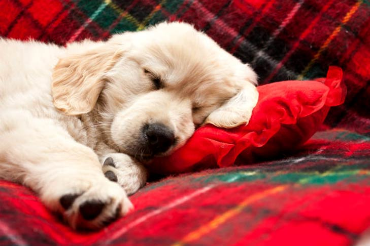 Golden Retriever puppy sleeping on a couch