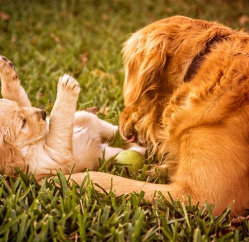 How Long Are Dogs Pregnant Dog Gestation Period