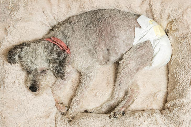 Everything You Need to Know About Dog Diapers – American Kennel Club