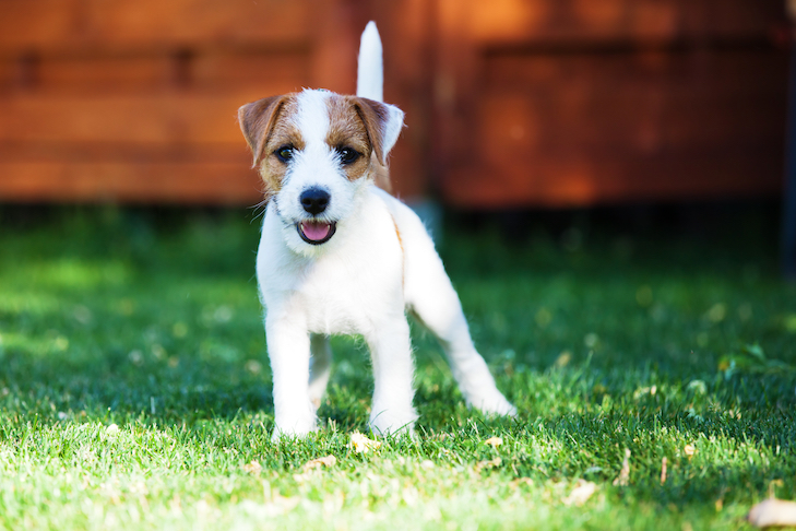 Parson Russell Terrier puppy standing in the yard.