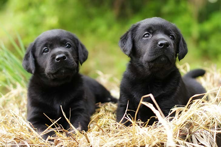 Two black Labrador Retriever puppies laying in a bed of straw.