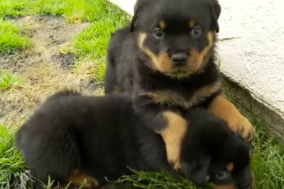 Rottweiler Puppies playing outside