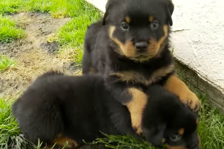 80 Second Clip Of Rottie Pups For Your Daily Dose Of Cuteness