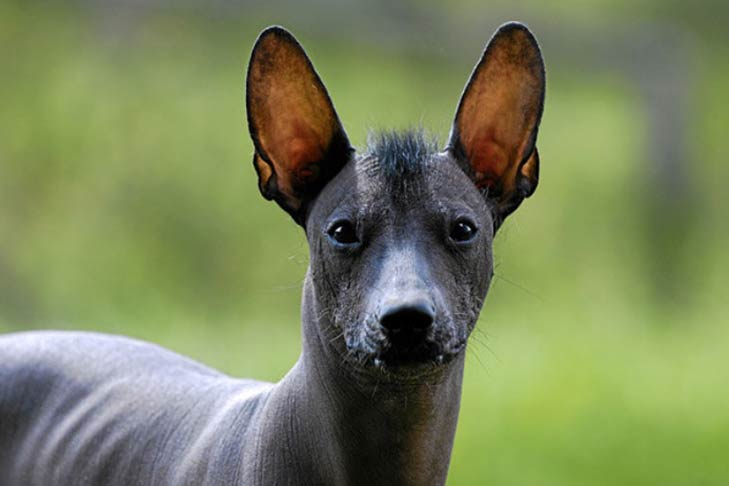 Image result for xoloitzcuintli