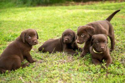 Four brown Labrador Retriever puppies outside