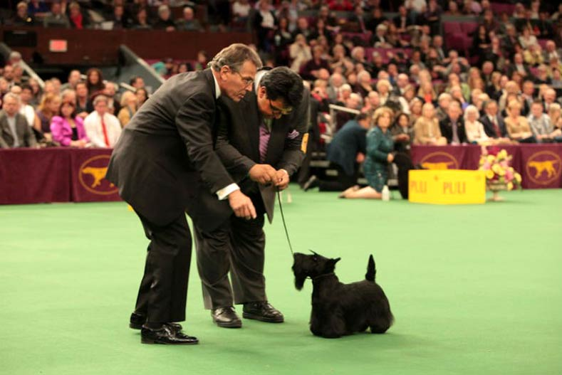 Judging scottie Mercedes at 2010 Wesminster Kennel Club Dog Show