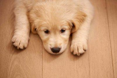 Golden Retriever puppy lying on a hardwood floor