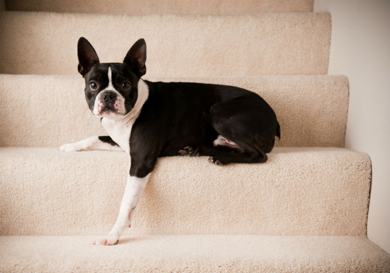 Superb Does Your Dog Need Dog Stairs Or A Ramp American Kennel Club Bralicious Painted Fabric Chair Ideas Braliciousco