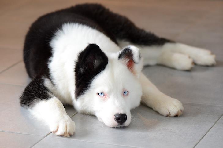 Yakutian Laika laying on the floor indoors.