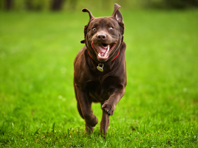 What are Dog Zoomies? Why Your Dog Runs Around in Circles
