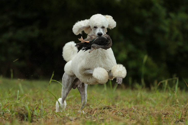 Poodles 10 Fun Facts About This Smart Stylish Dog Breed