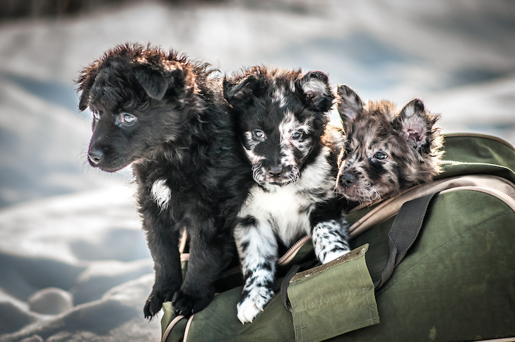 Mudi puppies peeking out of a carrier.