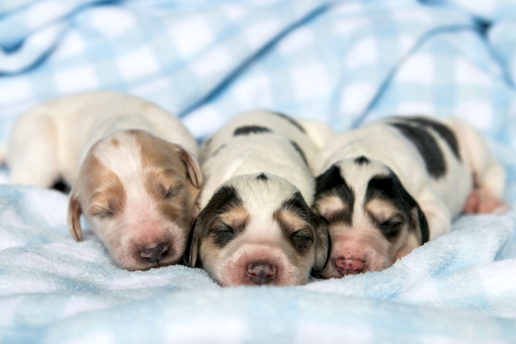 Greyhound newborn puppies laying side by side in a blanket.