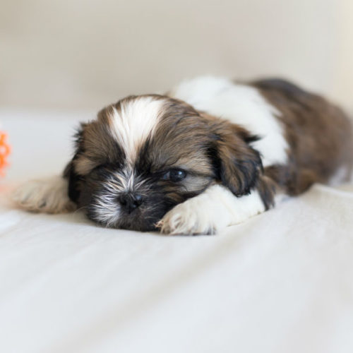9 Things You Didn't Know About the Shih Tzu – American Kennel Club