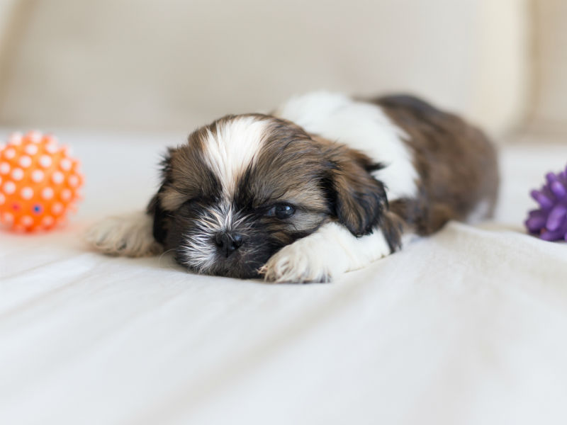 9 Things You Didnt Know About The Shih Tzu American Kennel Club