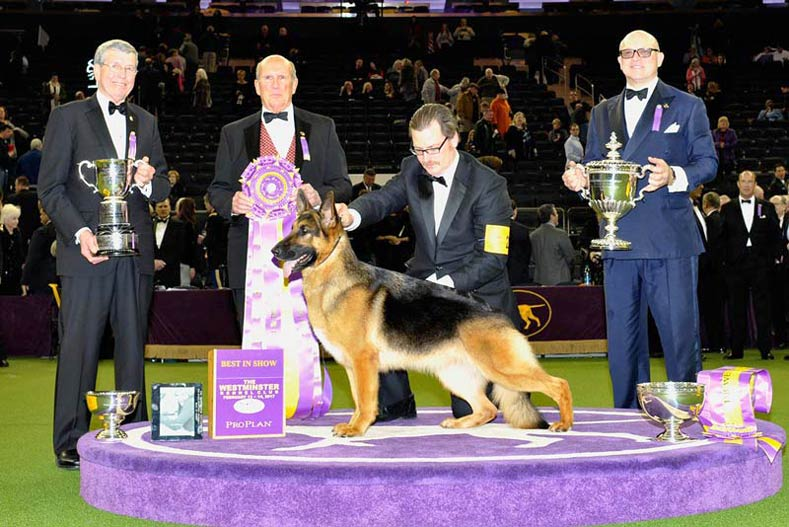 Westminster Best in Show Winner 2017: GCh. Lockenhaus' Rumor Has It V Kenlyn