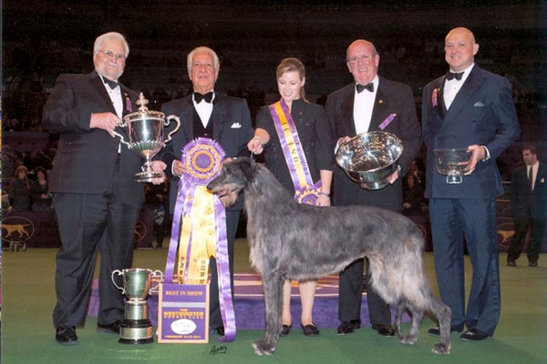 Westminster Best in Show Winner 2011: GCh. Foxcliffe Hickory Wind