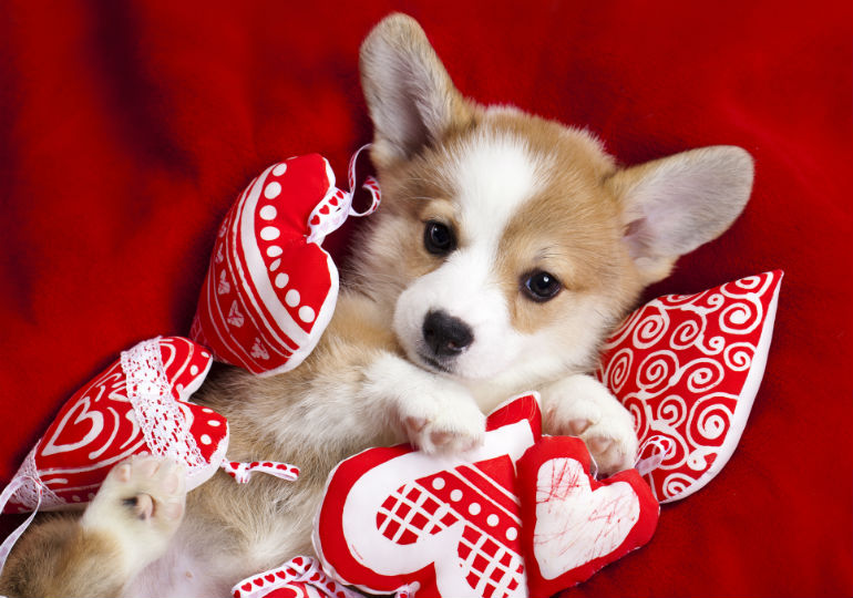 Puppy Love Make Valentines Day Special For Your Dog American