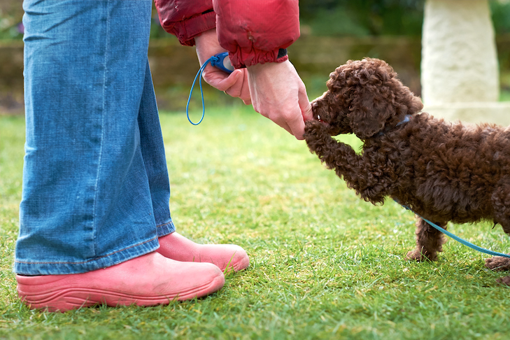 Poodle puppy being trained outdoors.