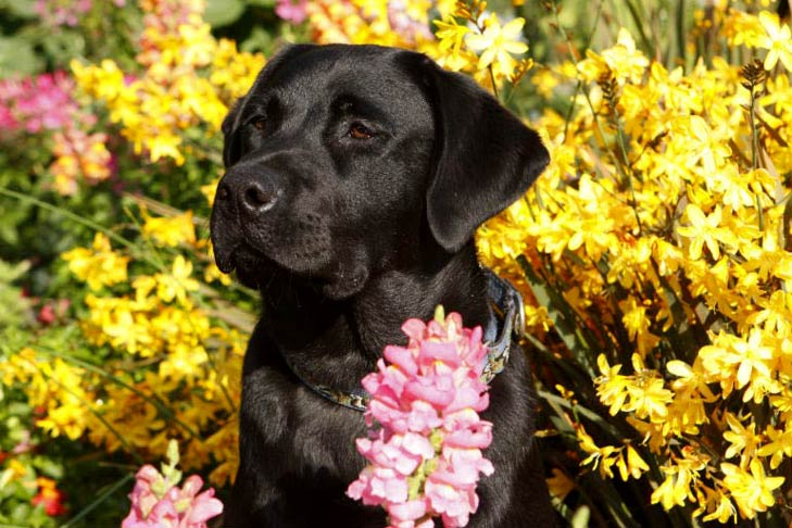 Black labrador retriever in a field of flowers