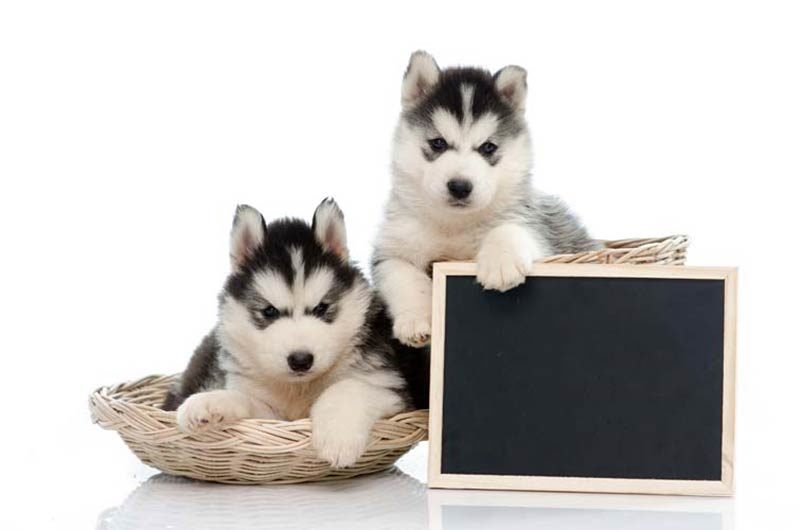 siberian pups chalkboard