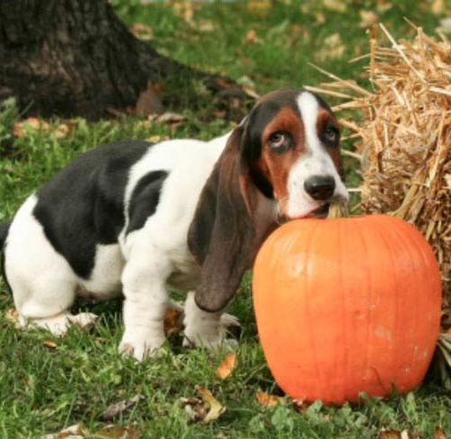 does pumpkin keep dogs from eating poop