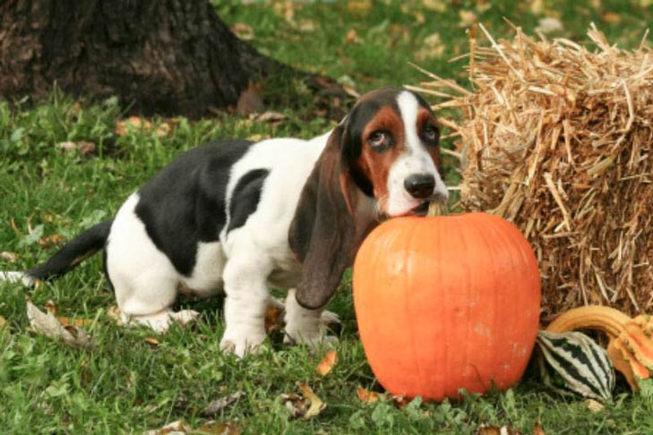 Basset Hound with a pumpkin