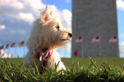 West Highland White Terrier in front of building with American flags