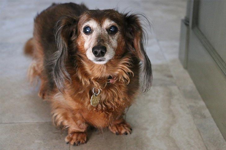 Senior obese longhaired Dachshund at home.