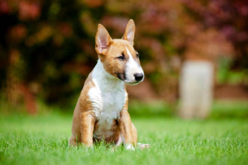 Bull Terrier puppy sitting outside