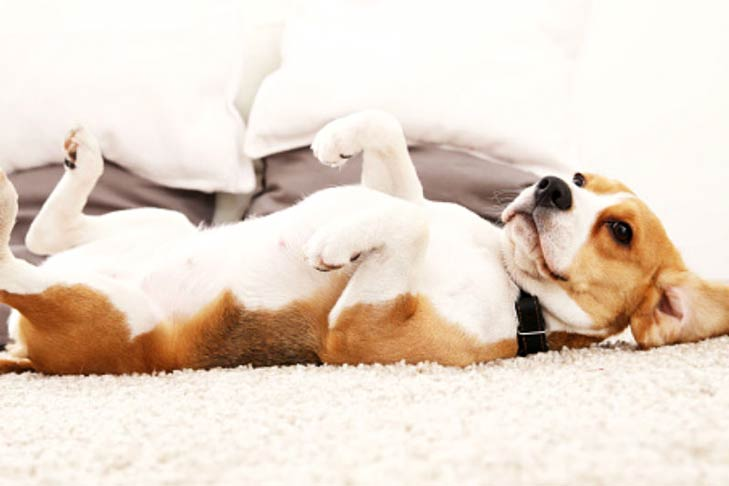 Beagle with its belly up