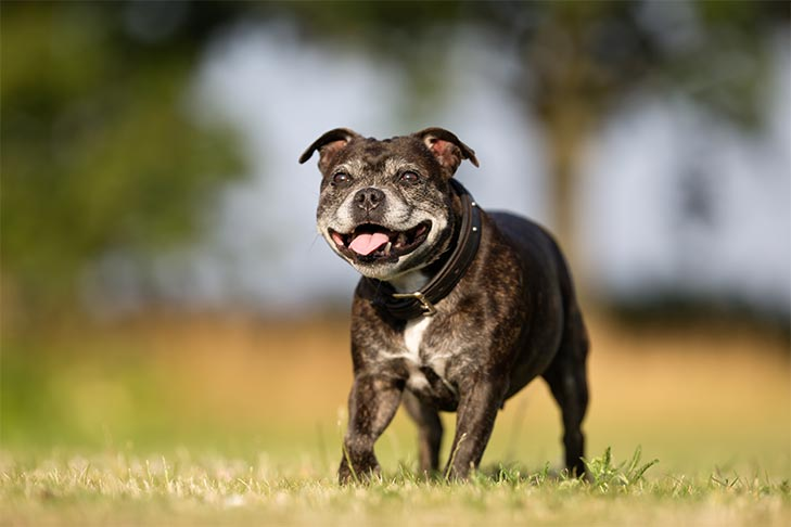 Senior Staffordshire Bull Terrier running outdoors.