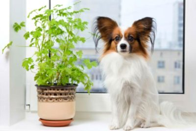 Papillon with a plant