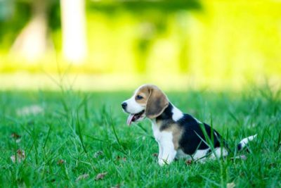 Beagle puppy sitting outdoors