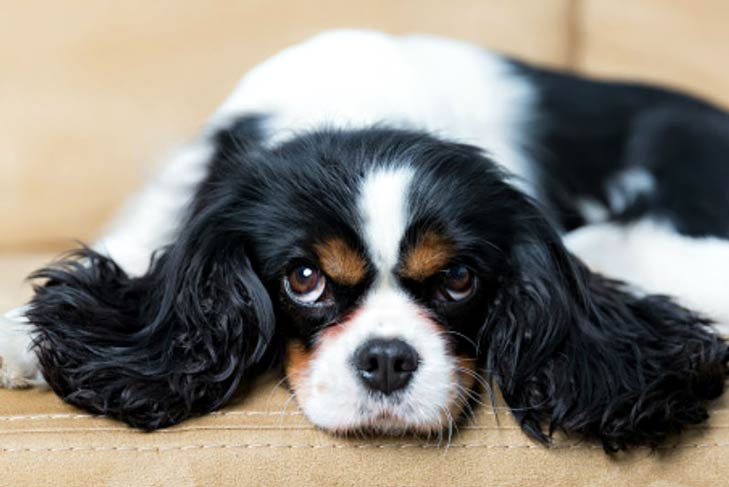 the best dog breeds for apartment living american kennel club