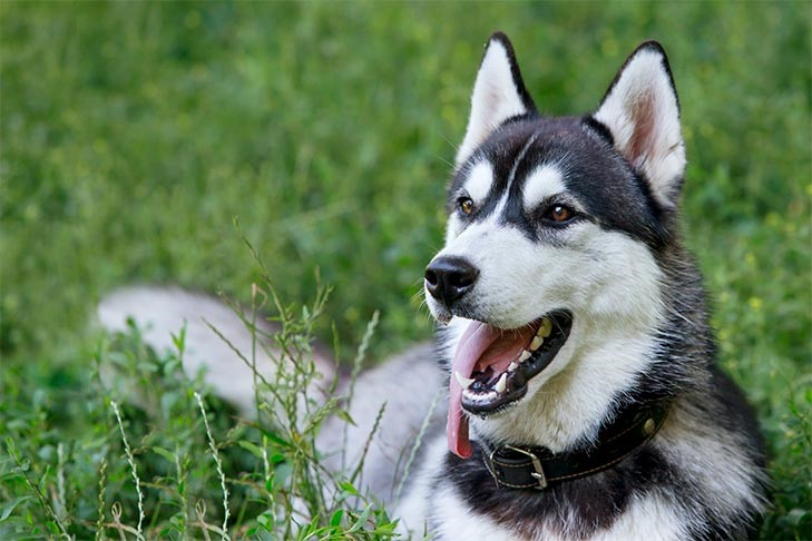 10 Things Only a Siberian Husky Owner Would Understand