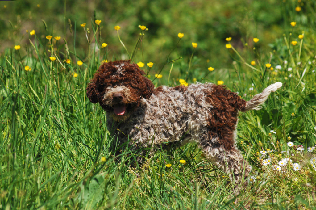 Lagotto Romagnolo standing in a field of tall grasses.