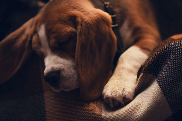 What Do Dogs Dream About American Kennel Club