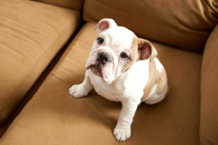 Bulldog puppy sitting on a couch