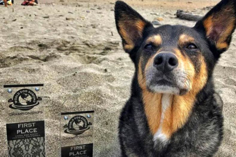 Australian Kelpie Abbie Girl wins first place at World Dog Surfing Championship