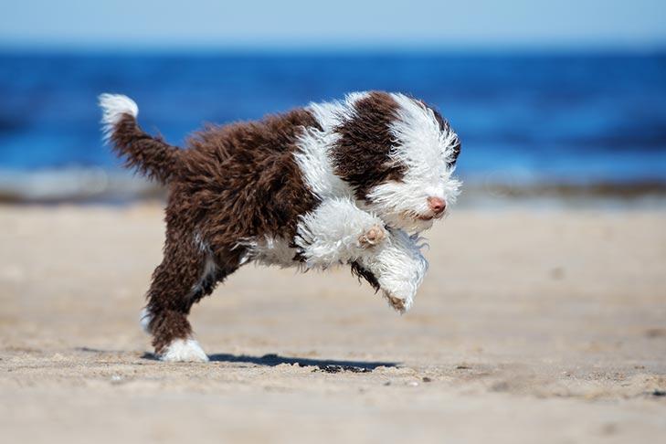 Spanish Water Dog running on the beach.