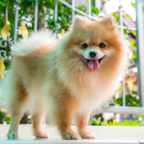 13 Dogs With Curly Tails – American