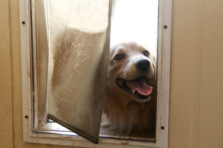 Golden Retriever in a dog door & The Best Dog Door for Your Pooch: Do You Have the Right One?