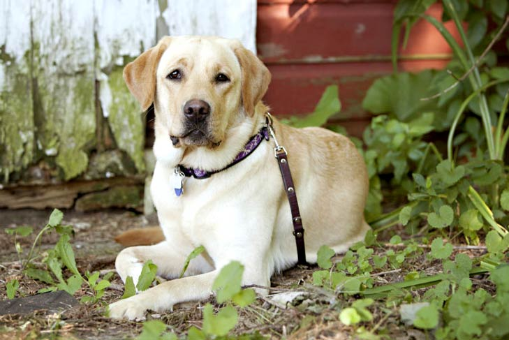 Yellow Labrador Retriever in front of a barn