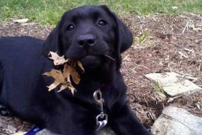 Black Labrador Retriever with a fall leaf in its mouth