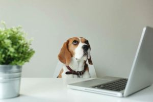 Beagle with a laptop computer