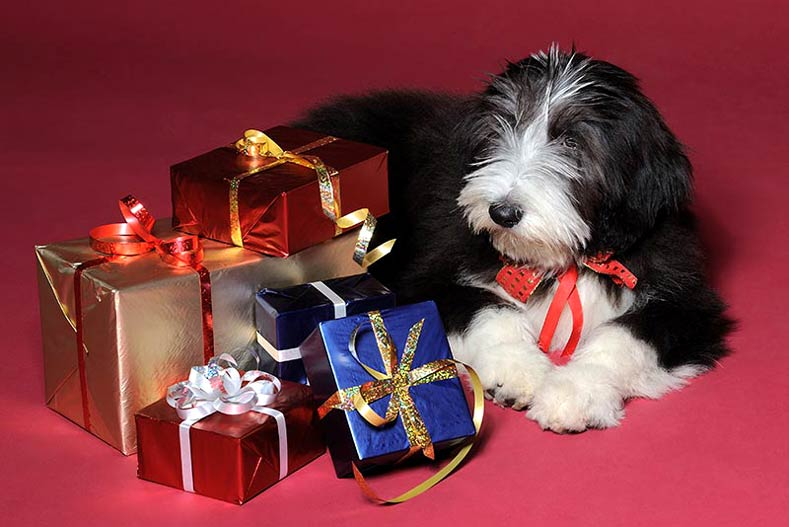 Bearded Collie with presents
