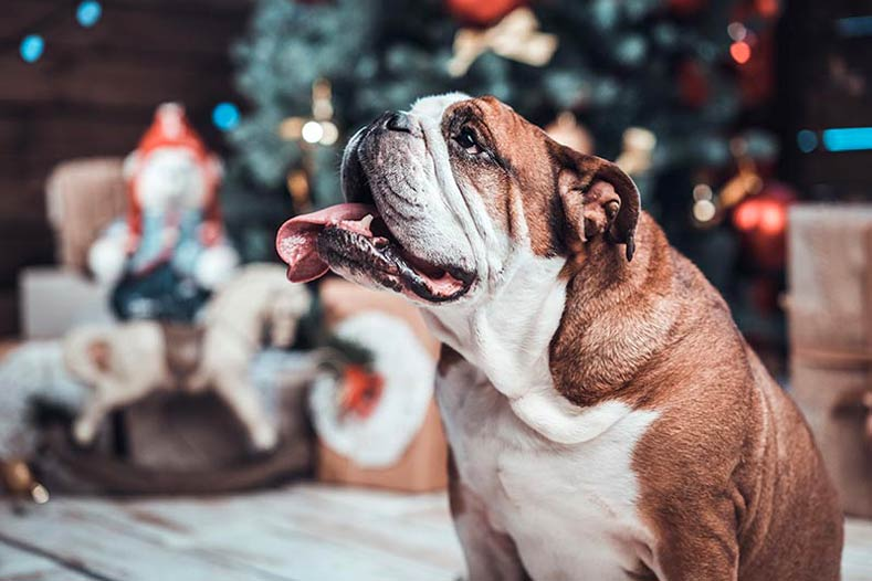 Bulldog in front of a Christmas tree during the holidays
