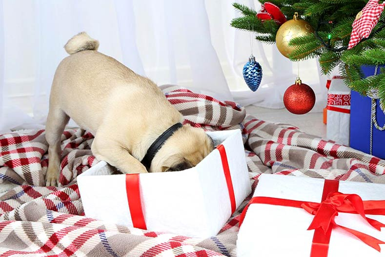 Pug opening a holiday gift in front of a Christmas tree
