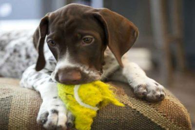 puppy tennis ball header
